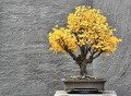 Ginkgo Bonsai Tree
