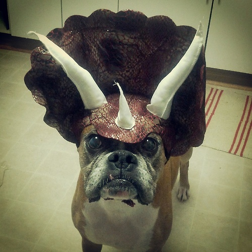Triceratops Dog Costume Petagadget : boxer dog costume  - Germanpascual.Com