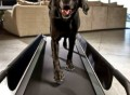 DogTread Treadmill
