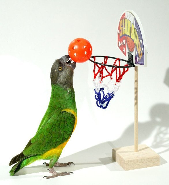 Birdie Basketball Hoop for Parrots