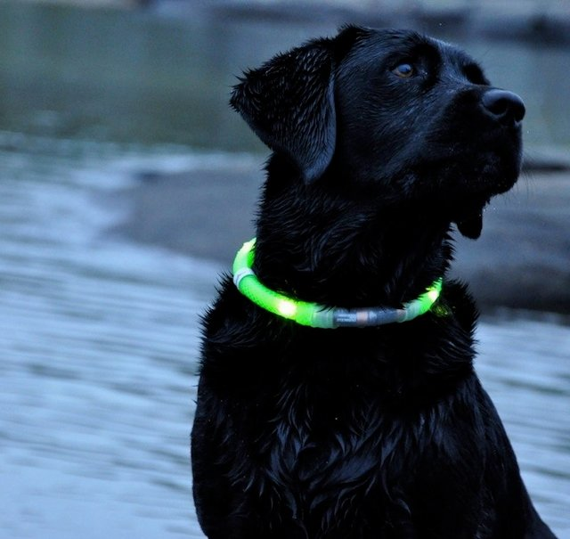 LED Dog Collar by Glowdoggie