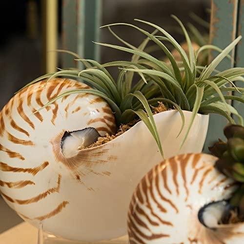 Tumbler Home Natural Chambered Nautilus Sea Shell