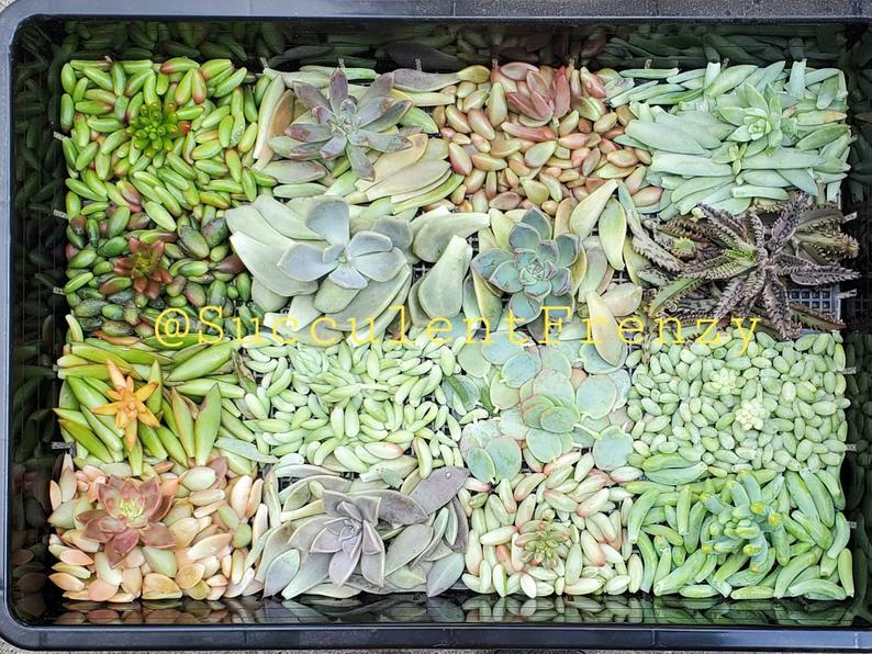 Succulent Leaves Propagation