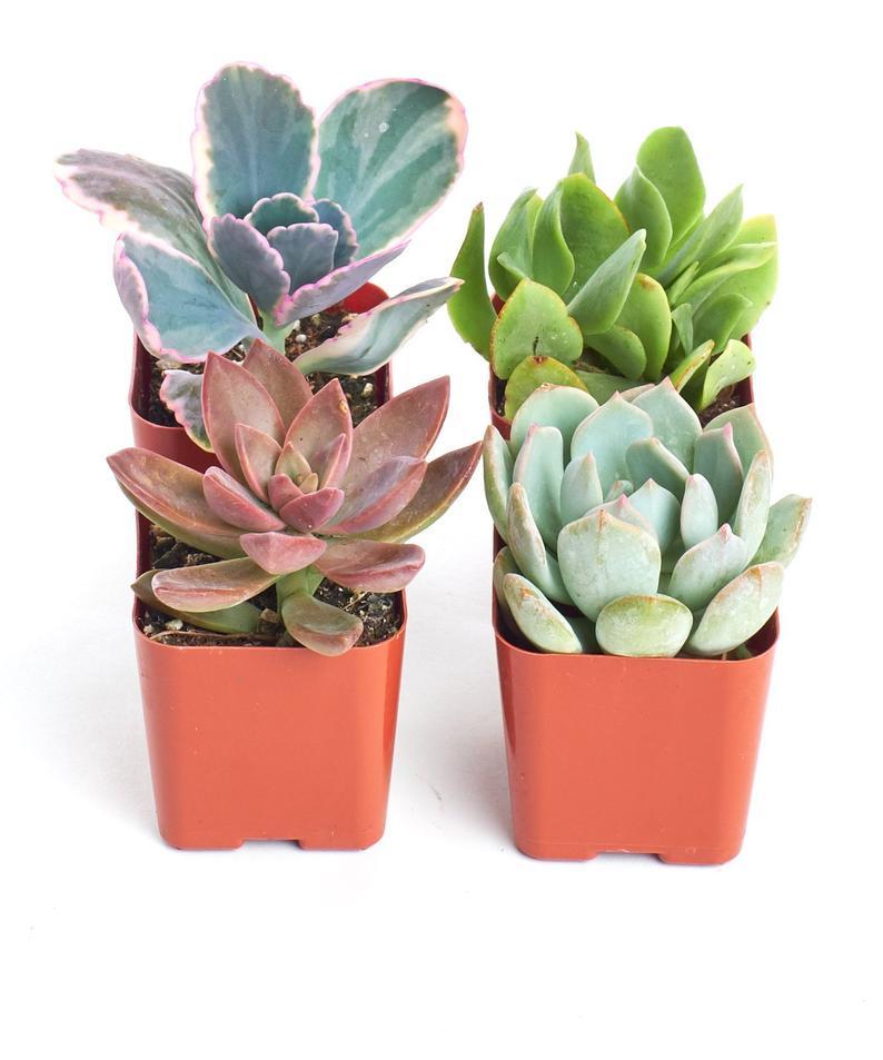Home Botanicals 2 Premium Pastel Succulent Plant