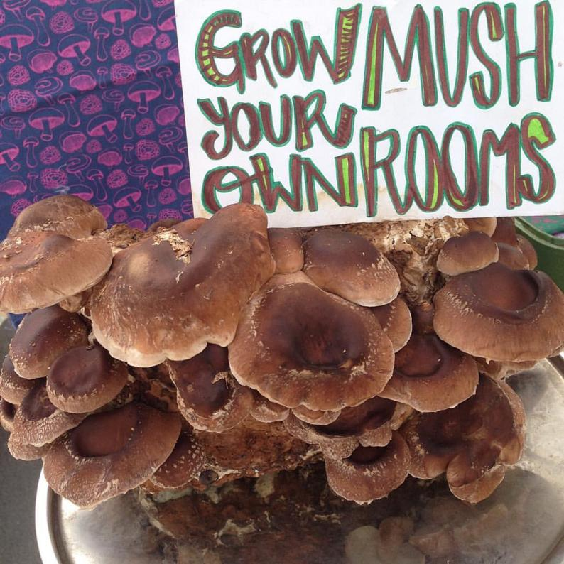 Shiitake Mushroom Grow Kit DIY Shiitake Mushrooms Growing