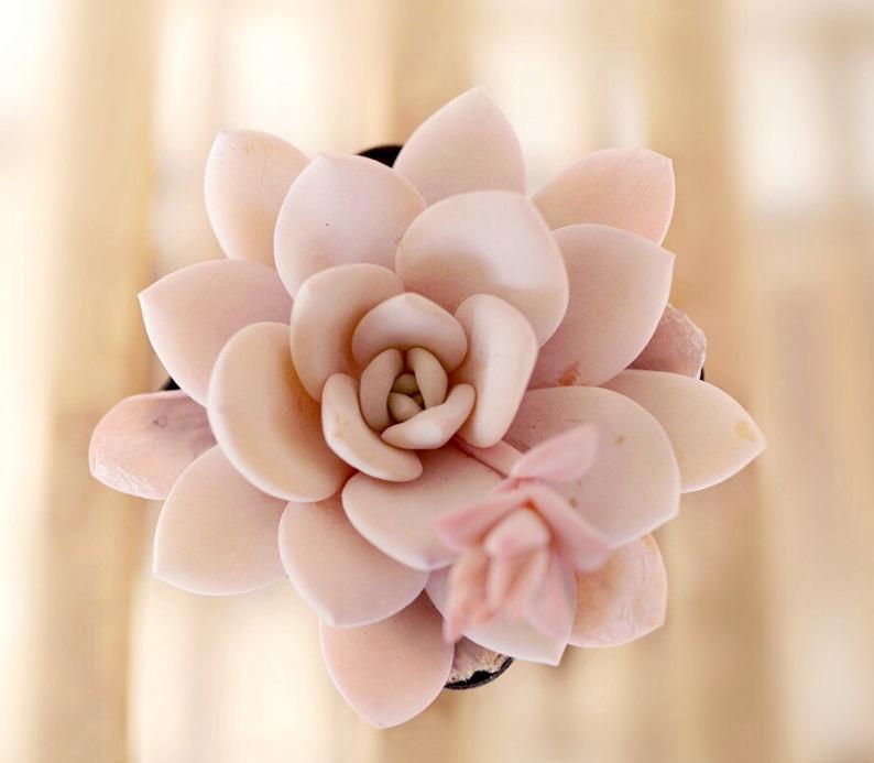 Echeveria laui 10 seeds rare succulent pink succulent