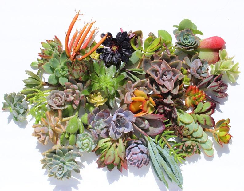 Twenty  succulent cuttings 20 different 1-5 large